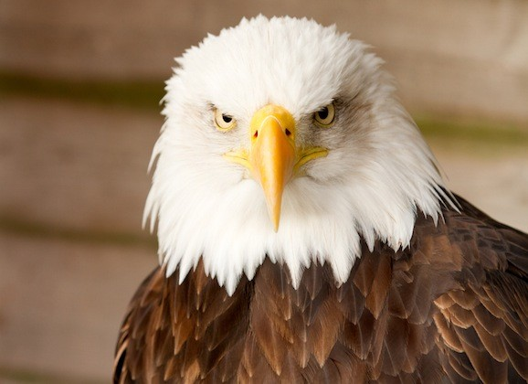 eagle - Eagle facts